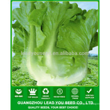JLT08 Pangwa early mature chinese green lettuce seeds for sales